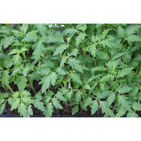 Tomato Seedlings ( Only In Chennai Shop - No Shipping )-Vegetable Saplings-SK Organic Farms-SK Organic Farms