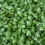 KGP- Water Cress ( flax seeds plant )-Herbal Seeds-Biocarve-SK Organic Farms