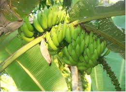 Yalakki - Banana-Fruit Plants-SK Nursery-SK Organic Farms