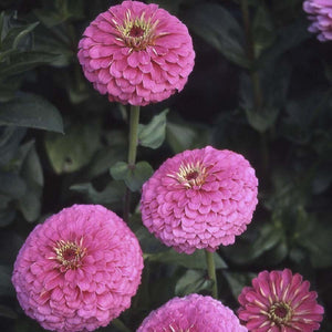 KGP- Zinnia Illumination Deep Rose - SK Organic Farms
