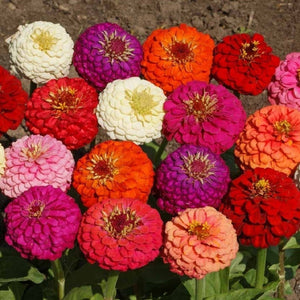 Zinnia Lilliput Mix - SK Organic Farms