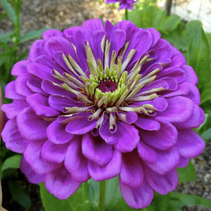KGP- Zinnia Royal Purple - SK Organic Farms