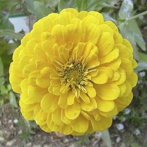 KGP- Zinnia Canary Bird Yellow - SK Organic Farms