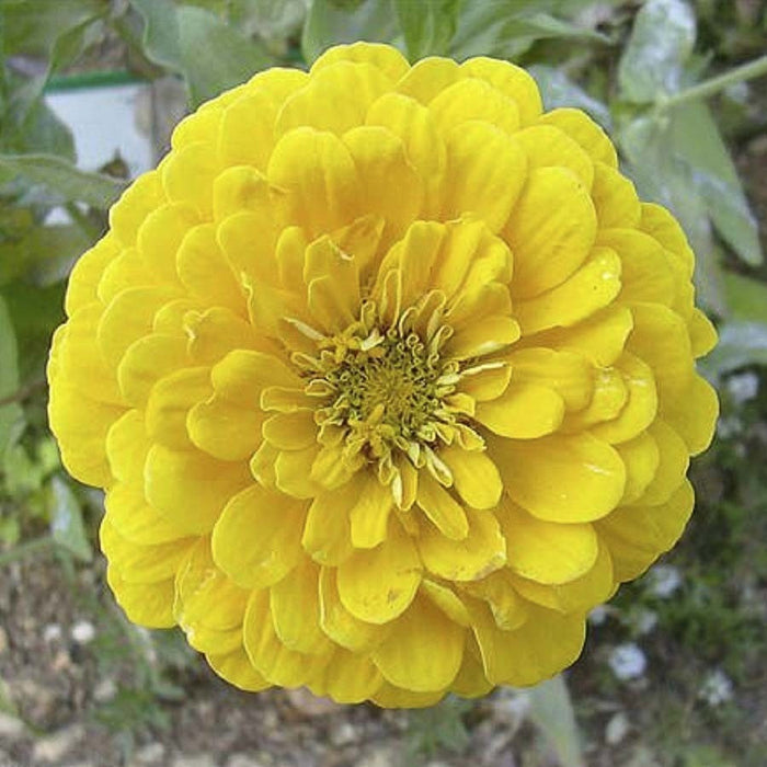 KGP- Zinnia Canary Bird Yellow