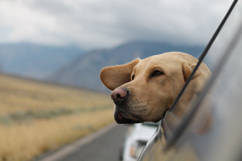 dog poking head out window