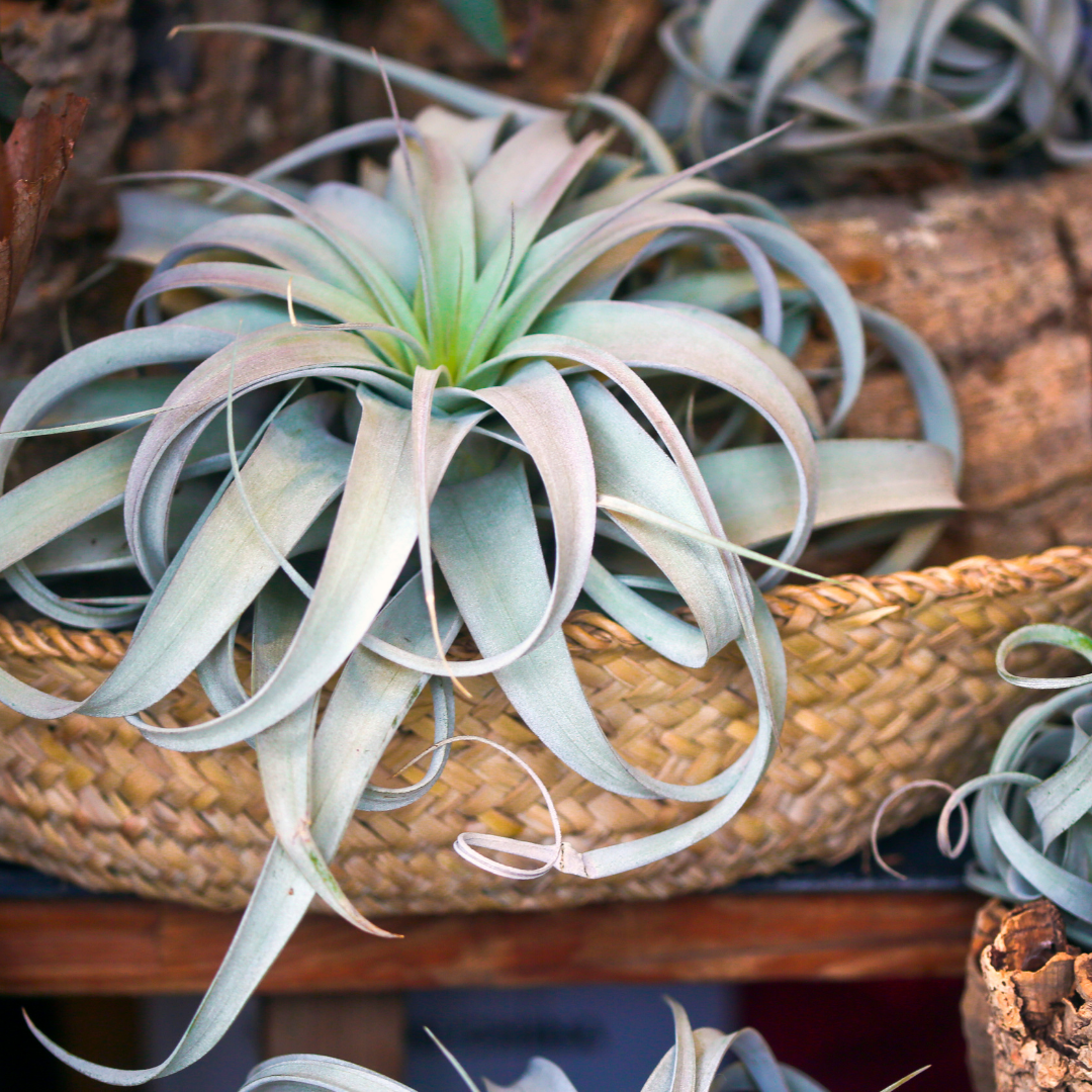 Plant Spotlight: Air Plants