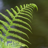Plant Spotlight: The Boston Fern
