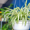 Plant Spotlight: The Spider Plant