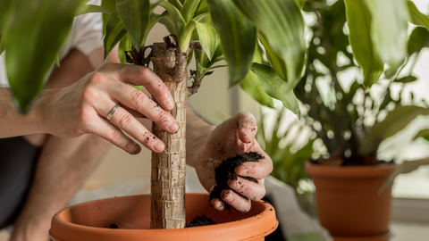 An image of a woman adding soil to her houseplant
