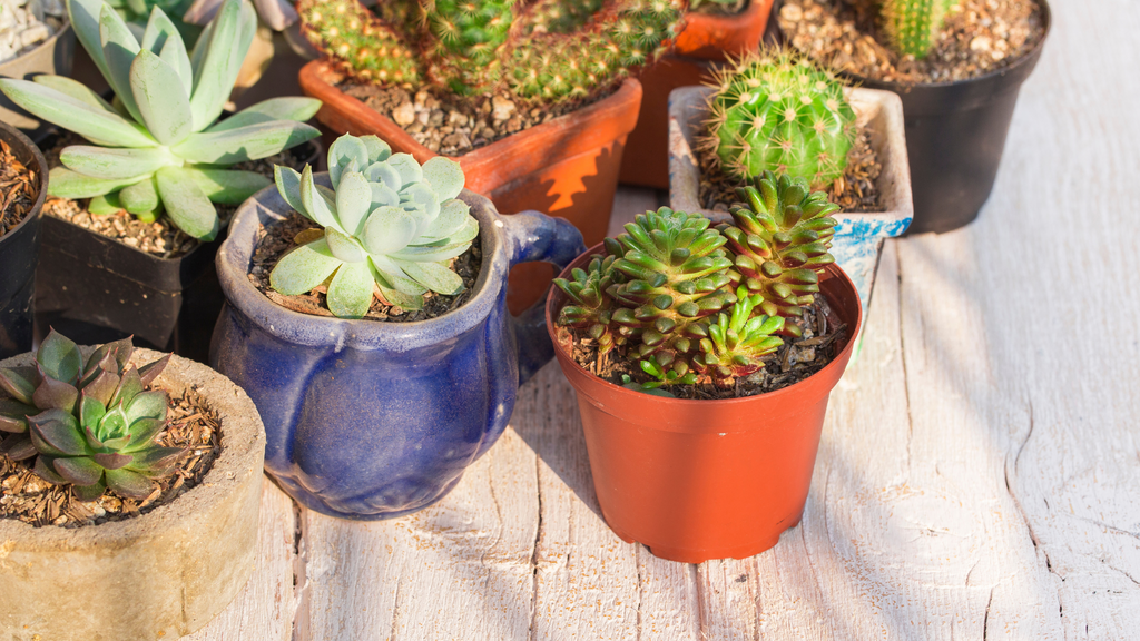 Cacti and succulents for sale online in Ireland