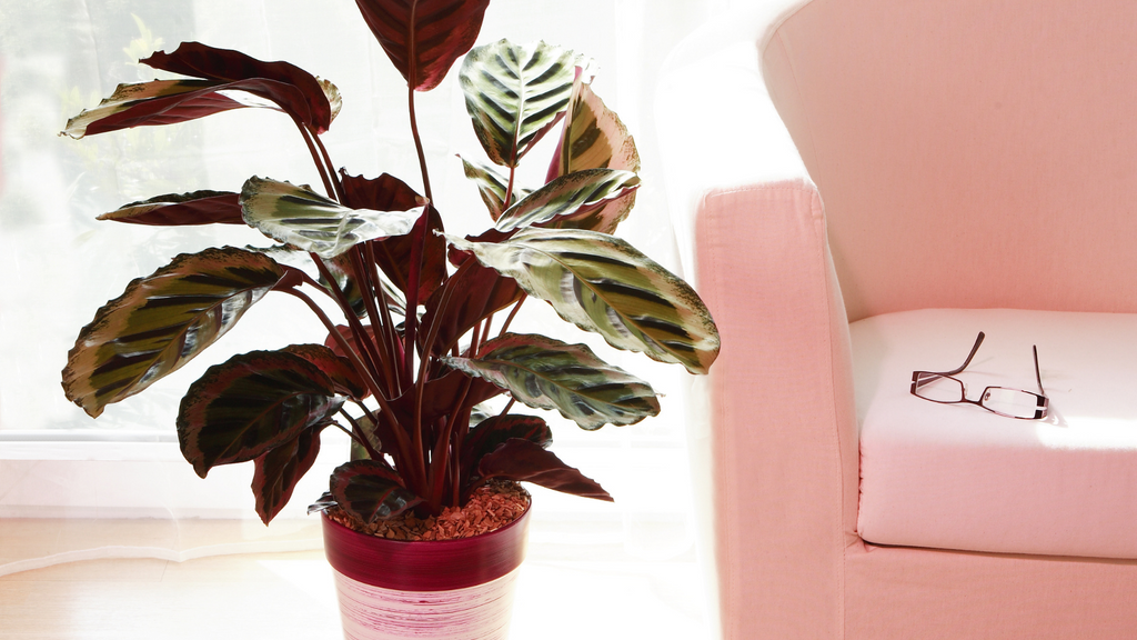 Large calathea plant beside a pink chair