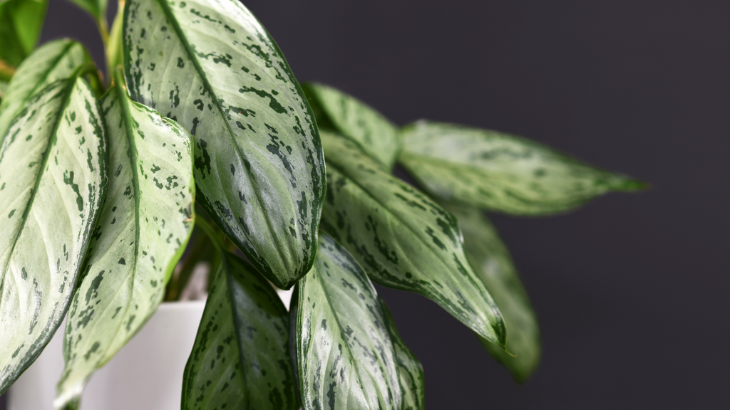Chinese Evergreen plant for sale online in Ireland