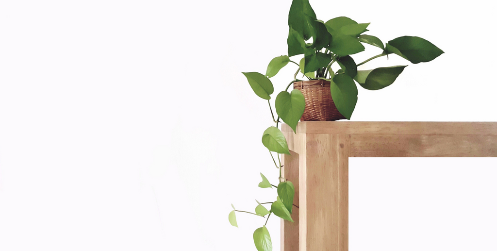 Image of a small devil's ivy plant on a wooden table
