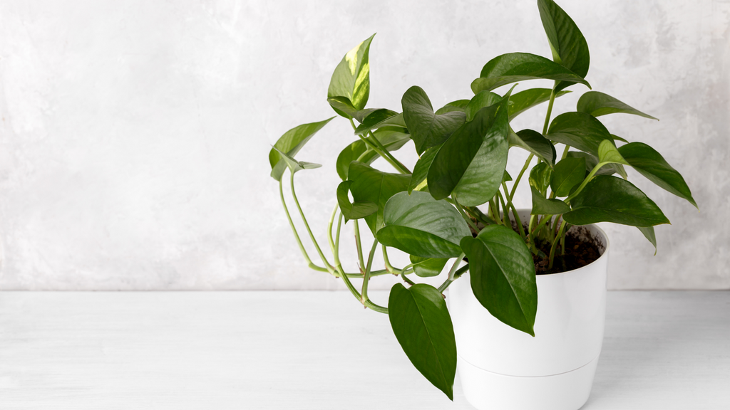 Small indoor Devil's Ivy plant in a white plant pot