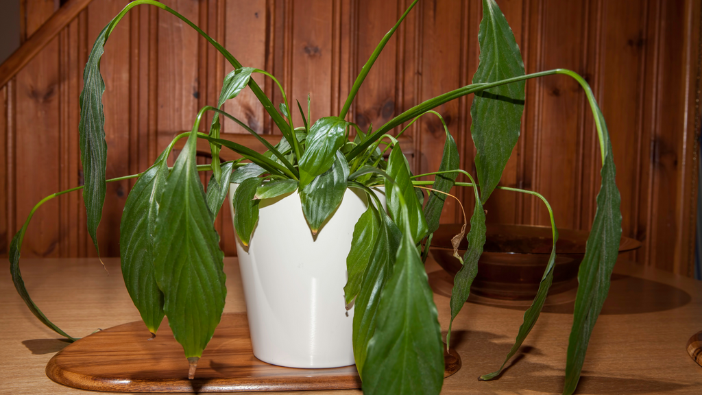 An image of a wilting Peace Lily plant in white container