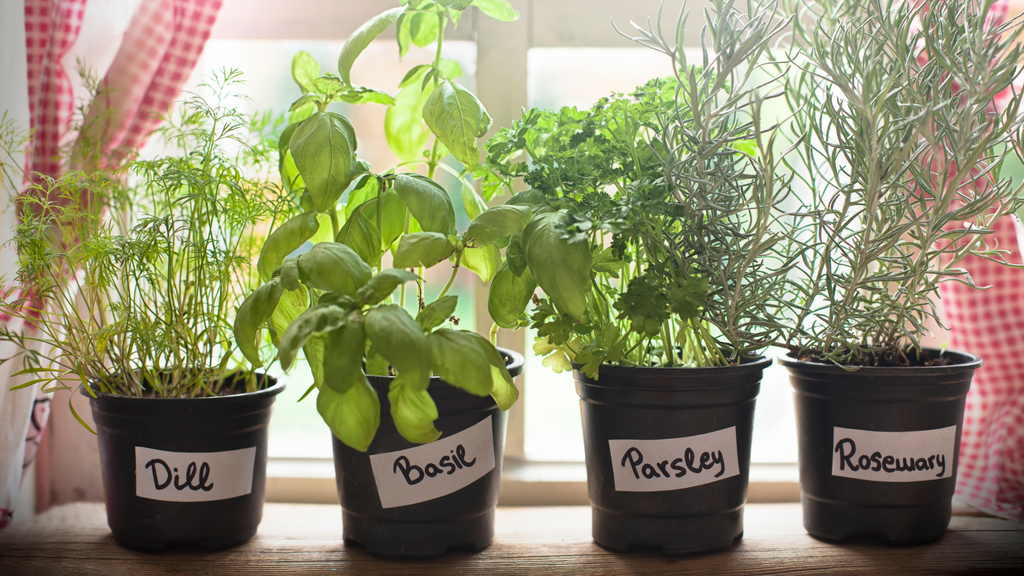An image of small indoor potted herbs