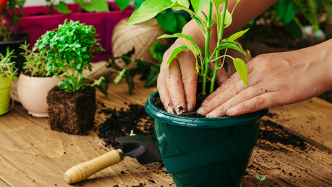An image of a woman patting down soil in her houseplant