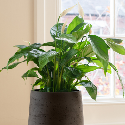 Health benefits of Peace Lily