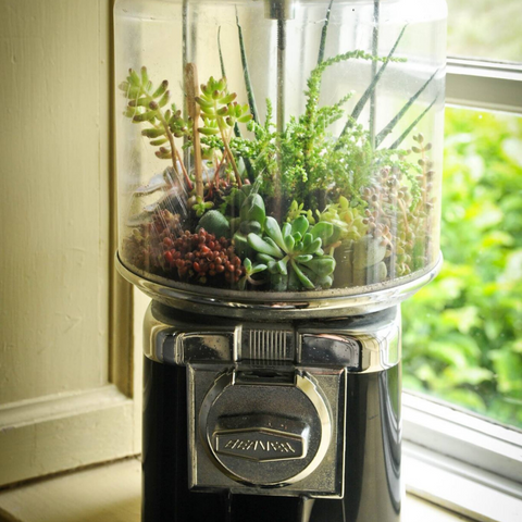 Succulents in vintage gumball machine