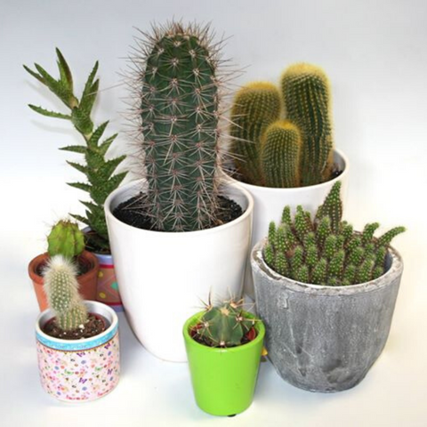 Selection of small cacti