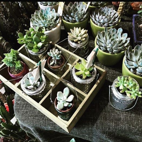 Small succulents in tray