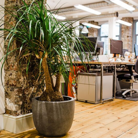 Large ponytail palm in cement container Etsy Dublin office