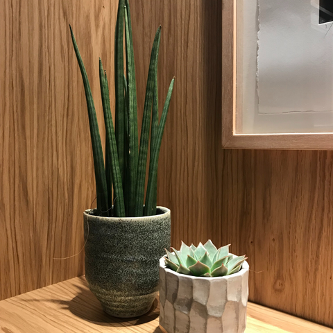 Sanseveria and succulent in plant pots