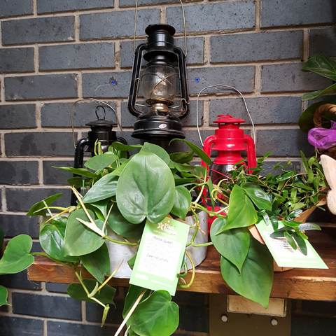 Plant on shelf with lanterns