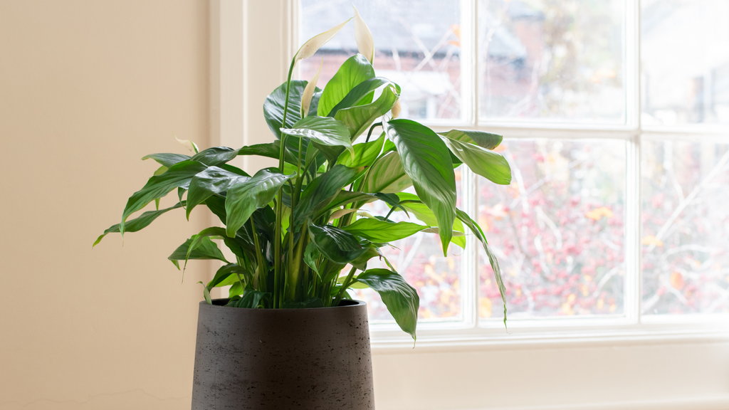 Small indoor peace lily plant in a brown plant pot