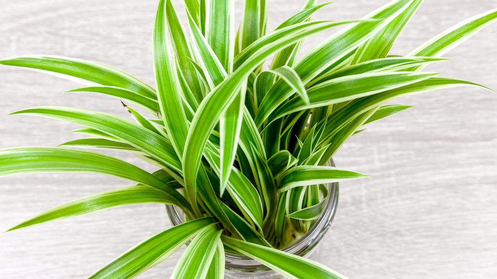 Arial shot of a small indoor spider plant