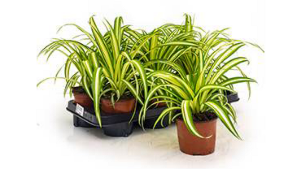 An image of a selection of spider plants available to buy online from Plant Store Ireland