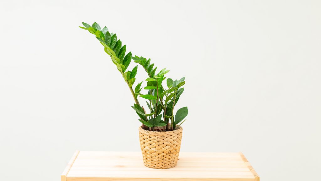 Small indoor ZZ plant in a wicker basket