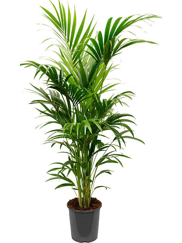 Kentia Palm- Large (160cm)