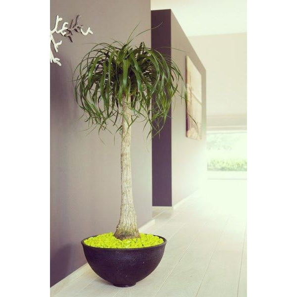 Ponytail Palm (pot not included) - Plant Store