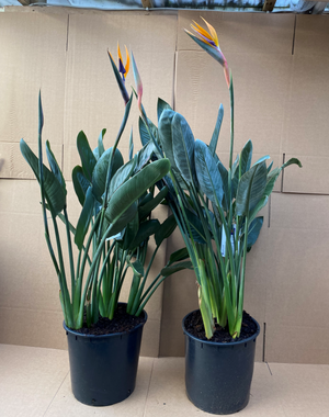 Strelitzia Regina (Bird of Paradise) In flower 120cm  *SPECIAL OFFER*