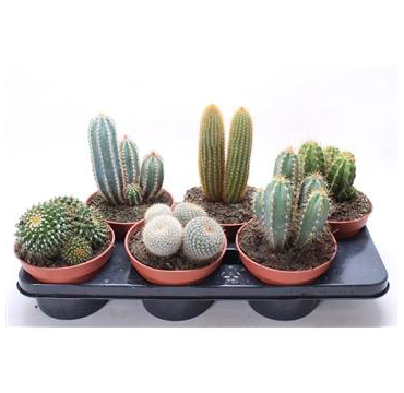 Cactus Tray - Six Mixed Plants