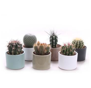 Cactus in Clay Cylinder Pots