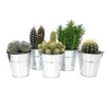 Cactus in Zinc Buckets