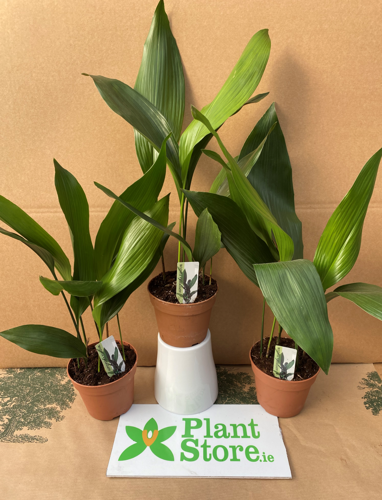 Aspidistra eliator (Cast Iron Plant) - Sold seperately