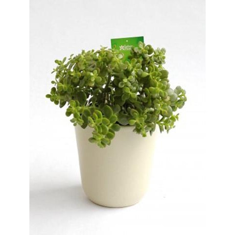 "Crassula ovata minor ""Little Money Tree"" - Plant Store"
