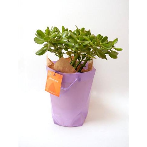 Crassula ovata minor / Money Tree - Plant Store