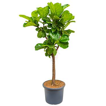 Ficus lyrata- Fiddle Leaf Fig- 160cm