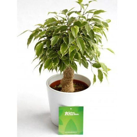 "Ficus Benjamina ""The Weeping Fig"" - Plant Store"