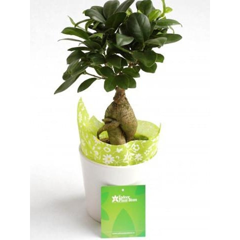 Ficus Ginseng - Plant Store
