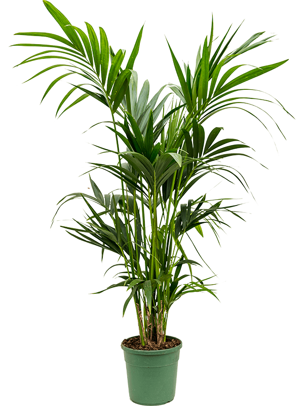 Kentia Palm- Medium (130cm)