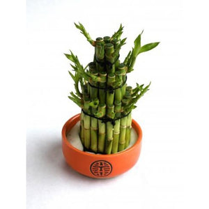 Lucky Bamboo - Plant Store