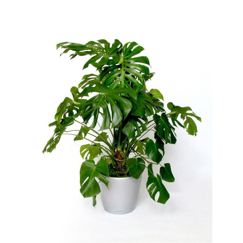 Extra Large Monstera Deliciosa- Swiss Cheese Plant- 130cm