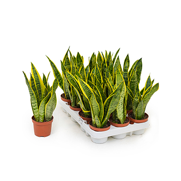 Small Snake Plant- Mother-in-law's Tongue - 35cm