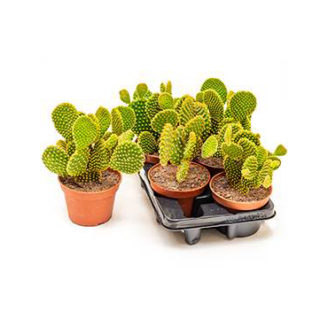 Opuntia microdasys- Bunny Ear Cactus- Sold Separately