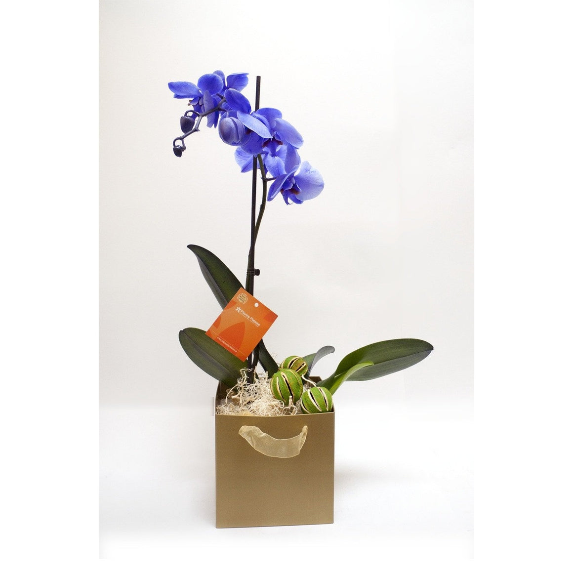Rare Blue Phalaenopsis Orchid 'Mother's Day' - Plant Store